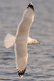 Caspian-gull-adult-in-flight-grou-nov-2012-small.jpg