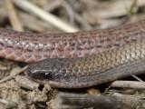Aprasia parapulchella, Pink-tailed worm-lizard