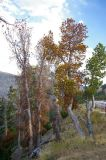 Whitebark pine trees being attacked by mountain pine beetle