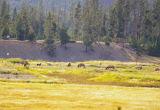 Roosevelt Elk females grazing in distance with calves