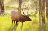 A male Roosevelt Elk stops traffic