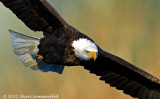 bald_eagles_all_galleries