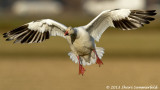 Snow Geese *all galleries*