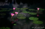 Lilies on a full moon