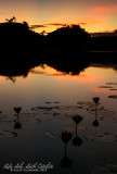 Lilies at sunrise