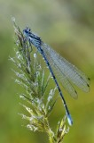 Watersnuffel / Common Blue Damselfly / Haaksbergerveen