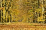 Herfstlaan / Autumn   Avenue  Gasselte (Drente)