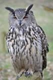 Oehoe / Eurasian Eagle-Owl / Apeldoorn