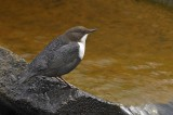 Waterspreeuw / White Throated Dipper
