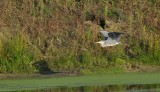 Blauwe Reiger / Grey Heron / Retentiegebied Hengelo