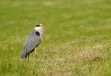 Blauwe Reiger / Grey Heron / Utrecht