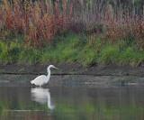 Grote Zilverreiger / Western Great Egret / Retentiegebied Hengelo