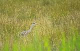 Blauwe Reiger / Grey Heron / AWD