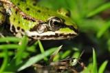 Kikker / Frog / Hengelo