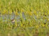 Geelpootruiter / Vogelenzang