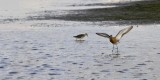 Grutto / Black-tailed Godwit / Texel