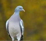 Houtduif / Common Wood Pigeon / Hengelo