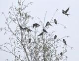 Zwaluw / Swallow / Haaksbergerveen