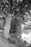 Moat tree