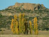 Lombardy Poplars in Autumn