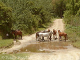 Polo ponies at the Franshoek stream