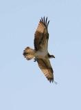 Snake Eagle