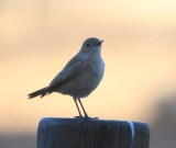 Blue-gray Ashy Flycatcher