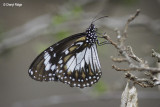 Swamp Tiger Butterfly