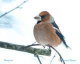 Stenknäck / Hawfinch