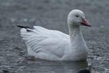 Snögås / Snow Goose