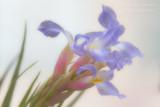 _MG_4516 iris w.jpg