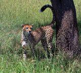 Cheetah, marking territory