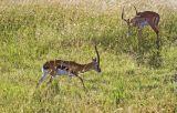 Thompson's gazelle, impala in the background