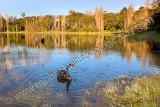 Black Swan at Perry Lakes Reserve