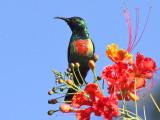 Beautiful Sunbird - Feeënhoningzuiger - Nectarinia pulchella