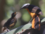 White-crowned Robin-chat - Schubkap-lawaaimaker - Cossypha albicapillus
