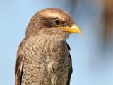 Yellow billed Shrike - Geelsnavel Klauwier - Corvinella corvina