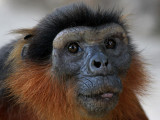 Red Colobus - West Afrikaanse Rode Colobus