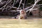 OTTERS in Piquiri River Pantanal Brazil 2012
