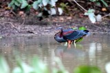 Herons Storks Ibises Limpkin Brazil 2012