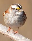 White Throated Sparrow - Zonotrichia albicollis