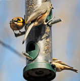 Tufted Titmouse & Goldfinch