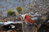 Northern Cardinal or Cardinalis cardinalis