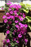 Petunia Flower Box