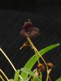 20124624 - Stelis uniflora  'Laras Joy'   CBR/AOS 11-8-2012  Close-up