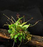 20124624  -  Stelis uniflora  'Laras Joy'  CBR/AOS 11-8-2012