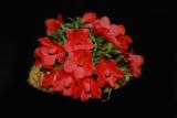 20124628  -  Den. cuthbertsonii var agathodaemonis  'Cindy Hill'  CHM/AOS  (80 points) 11-8-2012