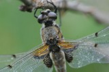 300_2433 viervlek (Libellula quadrimaculata, Four spotted chaser).JPG