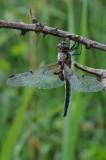 300_2560 viervlek (Libellula quadrimaculata, Four spotted chaser).JPG