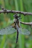 300_2586 viervlek (Libellula quadrimaculata, Four spotted chaser).JPG